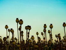 Free Poppyhead Royalty Free Stock Photo - 15736715