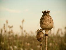 Free Poppyhead Royalty Free Stock Images - 15736719