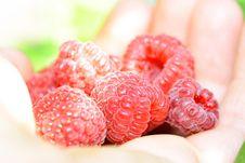 Free Handful Of Raspberries Royalty Free Stock Image - 15736846