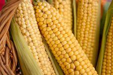 Raw Corn On The Cob Royalty Free Stock Photo