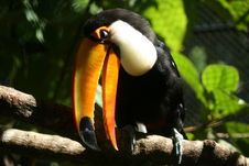 Toucan Bird Stock Photo