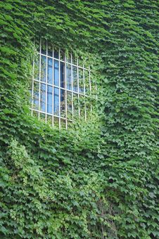 Free Green Ivy On The Window Royalty Free Stock Photos - 15737488