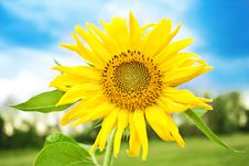 Free Sunflower Royalty Free Stock Images - 15738059