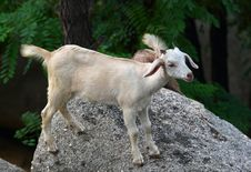 Free Goat Baby Stock Photo - 15739450