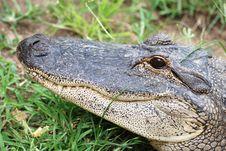 Free Crocodile Royalty Free Stock Photo - 15739475