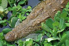 Free Crocodile Royalty Free Stock Photo - 15739605