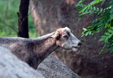 Free Grey Goat Royalty Free Stock Photo - 15739615