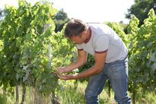 Winegrower In Vine Rows Stock Photos