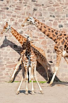 Free Giraffe Royalty Free Stock Images - 15739959