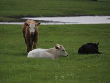 Free Little White Bull Royalty Free Stock Photography - 157307887