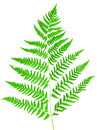 Free Young Green Fern Leaf Stock Images - 15744454