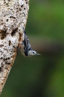 Free Nuthatch On Tree 2 Royalty Free Stock Photo - 15742195