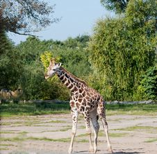 Free Giraffe Stock Images - 15742224