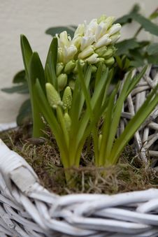 Free White Hyacinth Royalty Free Stock Photo - 15742795