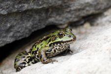 Free Frog Royalty Free Stock Photo - 15743065