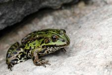 Free Frog Stock Images - 15743124
