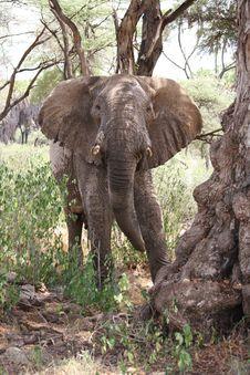 Free African Elephant Stock Photo - 15743240