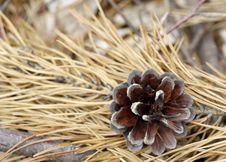 Free Pine Cone Royalty Free Stock Photos - 15743328