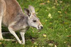 Free Kangaroo Stock Image - 15743841