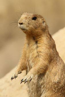 Free Prairie Dog Standing Upright Stock Photography - 15743862