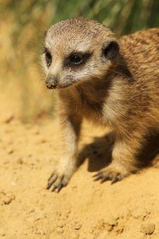 Cute Little Baby Meerkat Stock Image