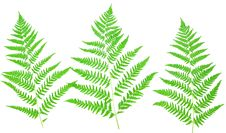 Free Young Green Fern Leaf Stock Photo - 15744510