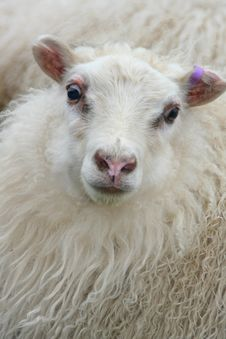 Free White Sheep Close-up Royalty Free Stock Photo - 15746585