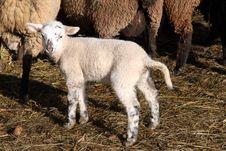 Free Newborn Lamb Stock Photo - 15747250