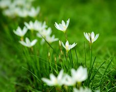 Free White Flowers On Lawn Stock Images - 15749254