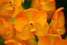 Free Orange Orchid Royalty Free Stock Image - 15749546