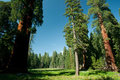 Free Grassy Meadow With Large Sequoia Trees Stock Image - 15752331