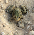 Free Camouflaged Frog On Sand Stock Photos - 15753663