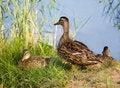 Free Mallard Ducks Stock Photography - 15757972