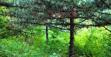 Free Pine Royalty Free Stock Image - 15750486