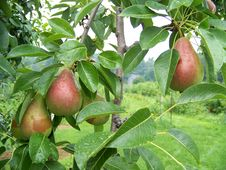 Free Pears On The Branches Royalty Free Stock Image - 15750936