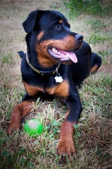 Free Rottweiler Puppy With Ball Stock Photography - 15751782