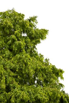 Free The Tree Royalty Free Stock Photo - 15751835
