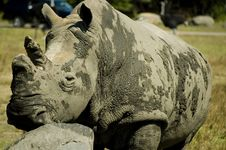 Free White Rhino Royalty Free Stock Photography - 15752057