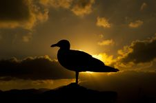Free Gull In The Sunset Royalty Free Stock Photos - 15752718