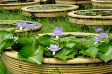 Free Violet Lotus Royalty Free Stock Photos - 15753098