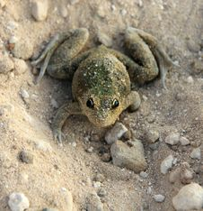 Camouflaged Frog On Sand Stock Photos