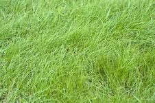 Free Green Grass Royalty Free Stock Images - 15753909