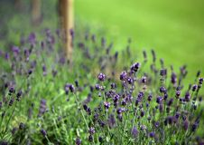 Free Lavender Stock Image - 15753921