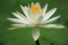 Free White Lotus Stock Photo - 15754400