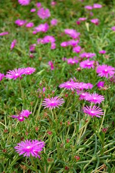 Free Trailing Iceplant Stock Photography - 15754962