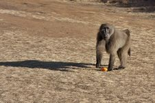 Free Baboon With Orange Peel Royalty Free Stock Image - 15755026