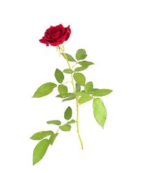 Free Red Rose Stock Photography - 15755322