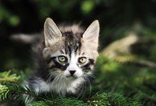 Free Cat Royalty Free Stock Image - 15755936