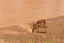 Free Antelopes Drinking Water Royalty Free Stock Images - 15756159
