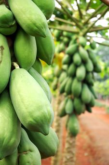 Free Papaya Tree Royalty Free Stock Photo - 15757045